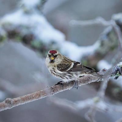 Spot Of Tea Royalty Free Images - Common redpoll Royalty-Free Image by Jouko Lehto