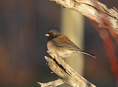 Brown Photograph - Dark-eyed Junco by Gary Wing