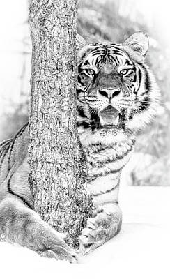 Photograph - 7 Degree Tiger by Wes and Dotty Weber