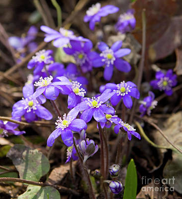 Photograph - First Spring Flowers by Irina Afonskaya