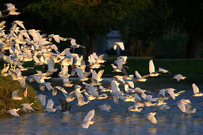 Valentines Day - Flock Of Egrets And Herons In Flight by Roy Williams