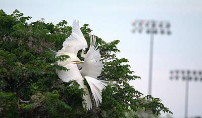 Great Egrets Mating Dispute Series Art Print