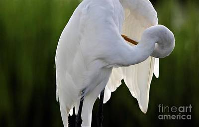 Photograph - Great White Egret Preening by Paulette Thomas