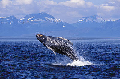 Photograph - Humpback Whale Breaching by John Hyde - Printscapes
