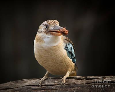 Photograph - Kookaburra by Craig Dingle