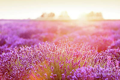 Photograph - Lavender Flower Field At Sunset. by Michal Bednarek