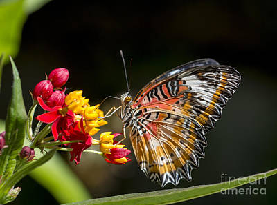 Photograph - Leopard Lacewing Butterfly by Pietro Ebner