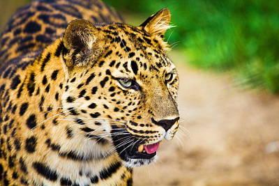 Cats Digital Art - Leopard by Super Lovely