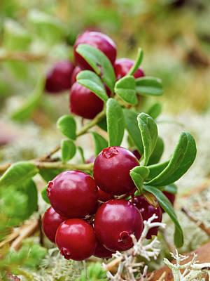 Photograph - Lingonberry by Jouko Lehto