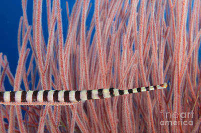 Tendrils Photograph - Malaysia, Marine Life by Dave Fleetham - Printscapes