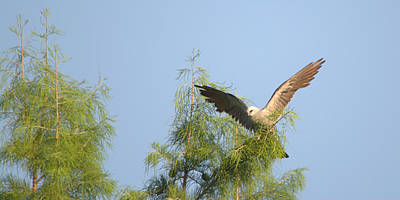 Mississippi Kite Photograph - Mississippi Kite Treetop Landing by Roy Williams