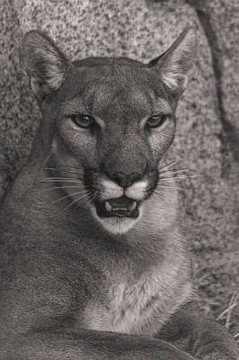 Photograph - Mountain Lion  by Brian Cross