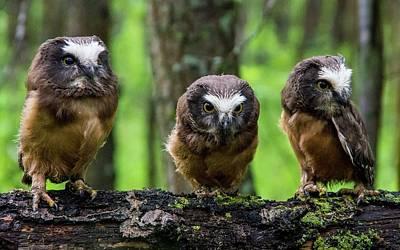 Animals Digital Art - Owl by Super Lovely