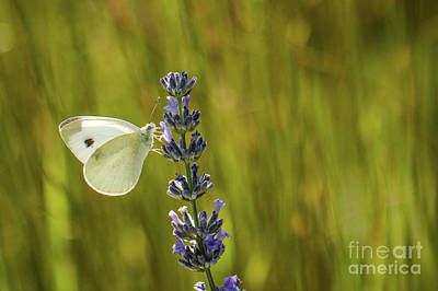Flowers Photograph - Pieris Brassicae, The Large White, Also Called Cabbage Butterfly by Amanda Mohler