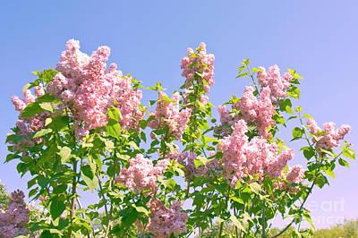 Photograph - Pink Lilac by Irina Afonskaya