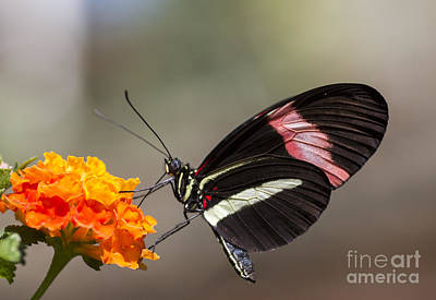 Photograph - Red Postman Butterfly by Pietro Ebner