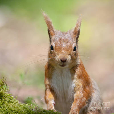 Photograph - Red Squirrel - Scottish Highlands #10 by Karen Van Der Zijden