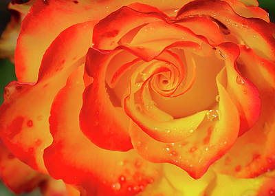 Photograph - Rose Beauty by Shirley Mitchell