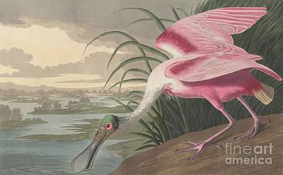 Roseate Spoonbill Print by John James Audubon
