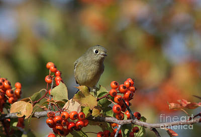 Hawthorne Tree Photograph - Ruby-crowned Kinglet by Gary Wing