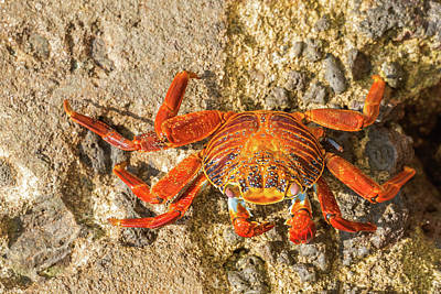 Sally Lightfoot Crab On Galapagos Islands Art Print by Marek Poplawski
