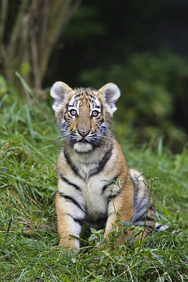 Photograph - Siberian Tiger Panthera Tigris Altaica by Konrad Wothe