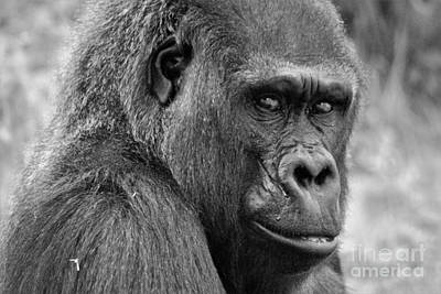 Photograph - Silverback Gorilla by Paulette Thomas