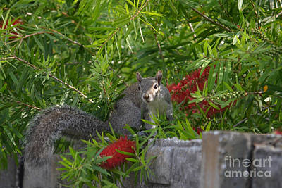 Photograph - 7- Squirrel by Joseph Keane