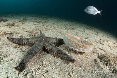 Starfish Hunting A Scallop Print by Angel Fitor