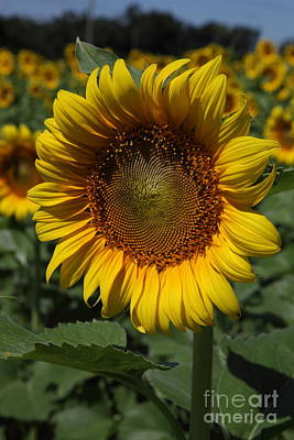 Sunflowers Royalty-Free and Rights-Managed Images - Sunflower Series by Amanda Barcon