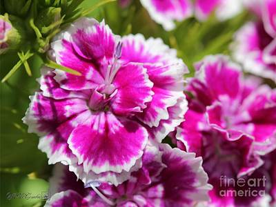 Photograph - Sweet William From The Super Bluepoint Duplex Mix by J McCombie