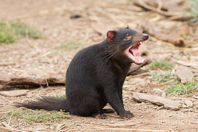 Photograph - Tasmanian Devil by Craig Dingle