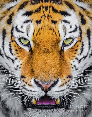 Photograph - Tiger by Shaun Wilkinson