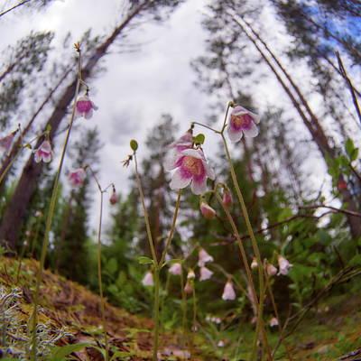 Photograph - Twinflower by Jouko Lehto