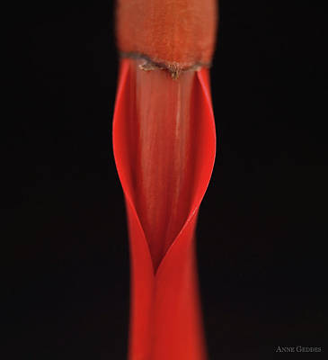 Wall Art - Photograph - Red Flower Bud by Anne Geddes