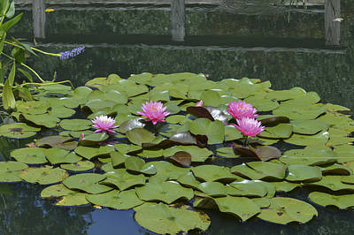 Photograph - Water Lilies by Linda Geiger