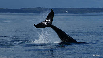 Photograph - Whale Tail Peduncle Manouver Image 1 Of 1 by Gary Crockett