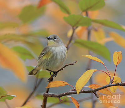 Grey Photograph - Yellow-rumped Warbler by Gary Wing