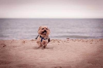 Photograph - York Dog Playing On The Beach. by Peter Lakomy