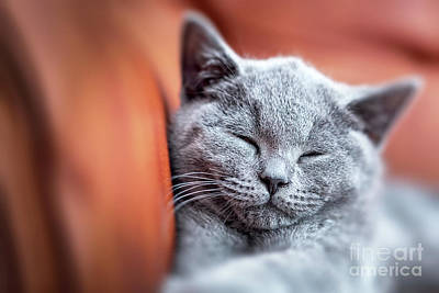 Couch Photograph - Young Cute Cat Resting On Leather Sofa. The British Shorthair Kitten With Blue Gray Fur by Michal Bednarek