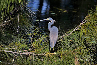 Photograph - 70- Great Blue Heron by Joseph Keane