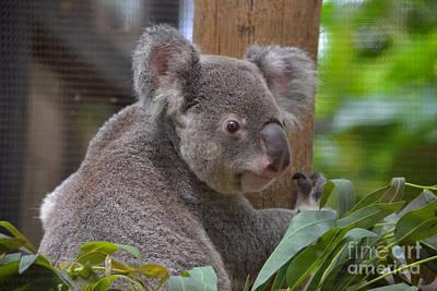 Photograph - 70- Queensland Koala by Joseph Keane