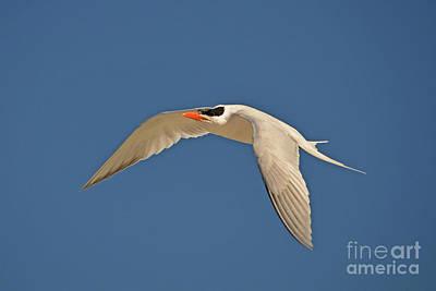 Photograph - 71- Elegant Tern by Joseph Keane