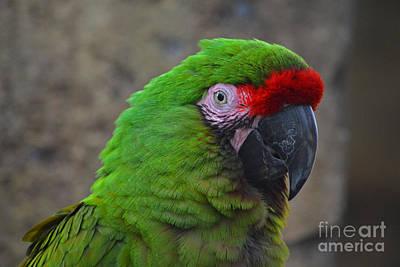 Photograph - 72- Military Macaw by Joseph Keane