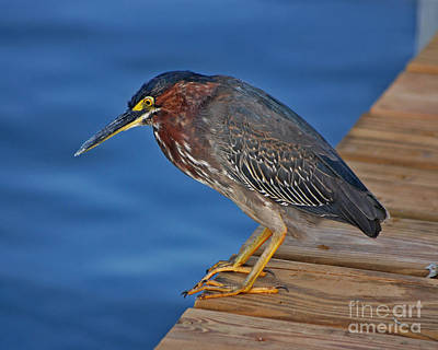 Photograph - 73- Green Heron by Joseph Keane
