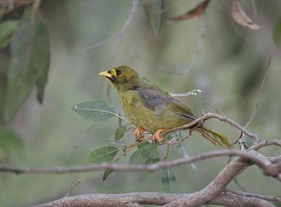 Photograph - Bellbird by Masami Iida