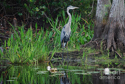 Photograph - 75- Great Blue Heron by Joseph Keane