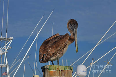Photograph - 78- Brown Pelican by Joseph Keane