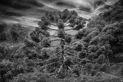 Photograph - 7845-araucaria-campos Do Jordao-sp by Carlos Mac