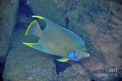 Photograph - 79- Parrot Fish by Joseph Keane